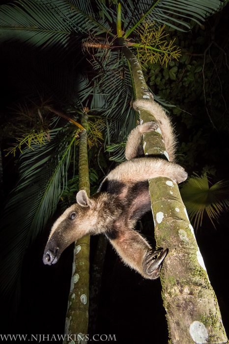 An excellent climber, the Tamandua spends most of its time in the trees. They move awkwardly on the ground, forced to walk on the outsides of their hands to avoid puncturing their palms with their sharp claws.