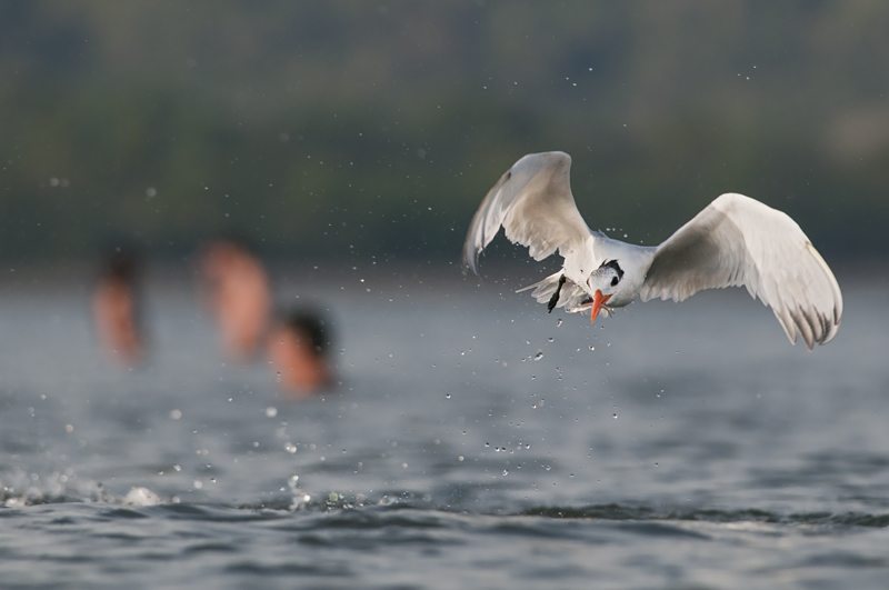 Royal tern emerging from successful dive, ticos in background (locals)